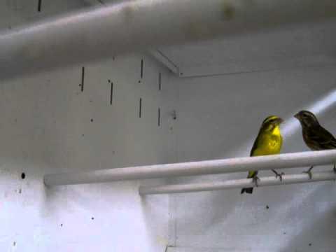 African Yellow Canary ( Serinus flaviventris )