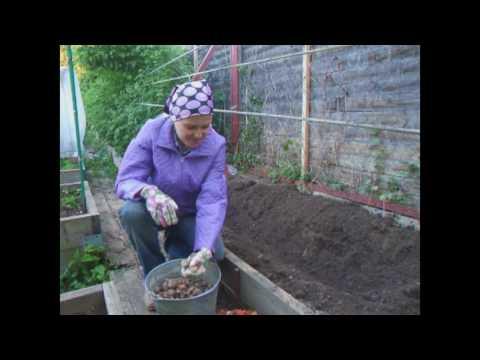 Как посадить виноград на даче