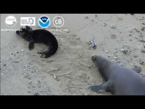 Hawaiian Monk Seal Pup Cam Day 11 Full Clip Kaimana Beach