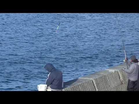 田辺市芳養(はや)堤防からアジが釣れています