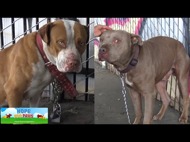 Two Pit Bulls tied with chains and locks abandoned under the freeway.