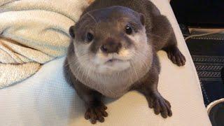 カワウソさくら はたらくカワウソ!③ Help the otter