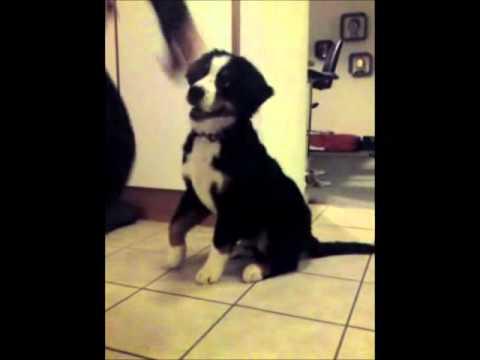 Bernese Mountain dog (Darwin, 18 weeks) doing tricks