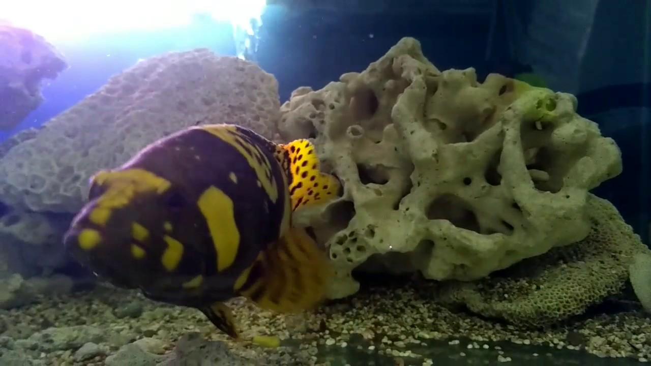 Ikan Kerapu Emas Air Tawar Youtube