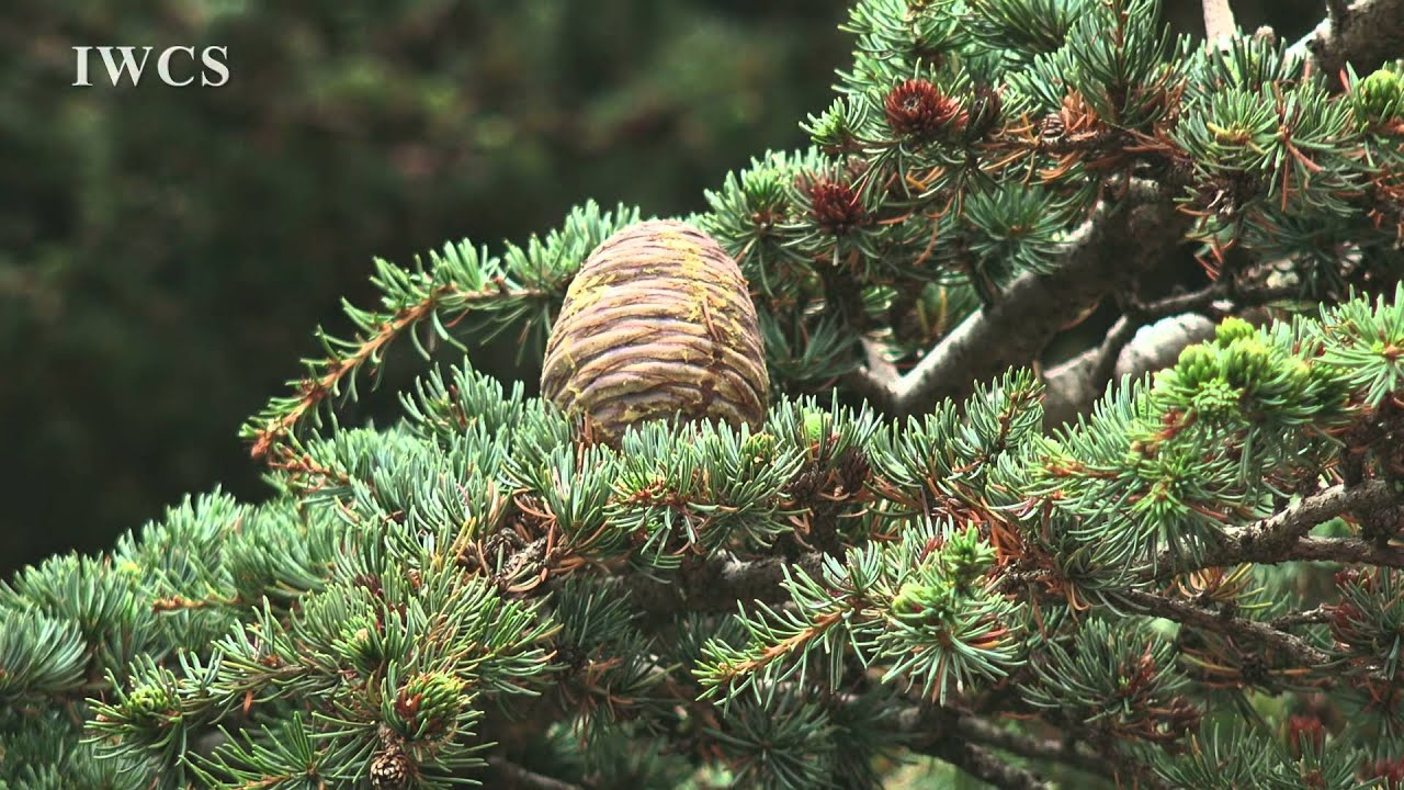 Download Cedars of Lebanon