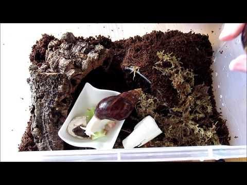 #4 Przenoszenie Lissachatina fulica