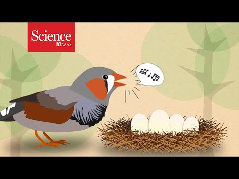 Zebra Finch Parents Tell Eggs: It's Hot Outside
