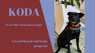Best Dog Training in Chicago! 1 Year Old Australian Kelpie, Koda!