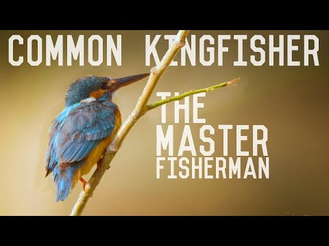 Common Kingfisher - A Master Fisherman
