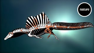 A swimming dinosaur: The tail of Spinosaurus