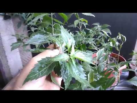 Balbas- Pusa Herbal Plant (Cat Whiskers, Kidney Tea Plant, Java Tea) Growing and Propagation #Herbalmedicine