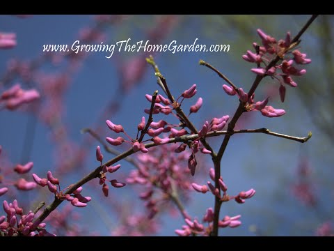 Collecting Redbud Tree Seeds And Breaking Dormancy