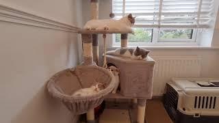 Energetic Kittens   British Shorthair Cats