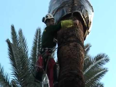 Abattage d 39 un palmier par clean garden youtube - Racine d un palmier ...