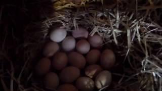 Наседка доминант на яйцах Седьмое января начало инкубации