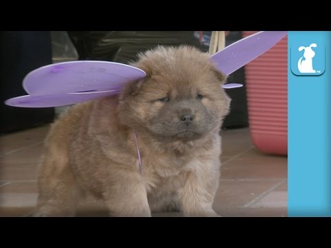All The Cutest Chow Puppies Ever (Puppy Compilation) - Puppy Love