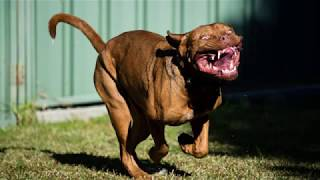 Dogue de Bordeaux  large dog breed