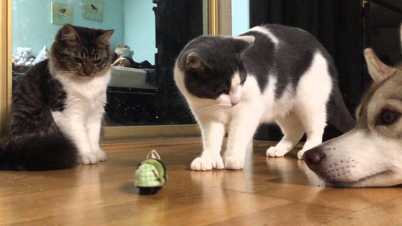 Husky And Kitties Vs New Toys Youtube