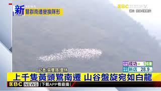 最新》上千隻黃頭鷺南遷 山谷盤旋宛如白龍