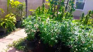 Outdoor Cannabis Grow| Reveg| Educational Purposes Only