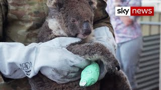 Australia Bushfires: Wildlife clings to life