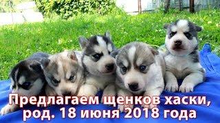 Предлагаем щенков хаски, родились 18 июня 2018 года