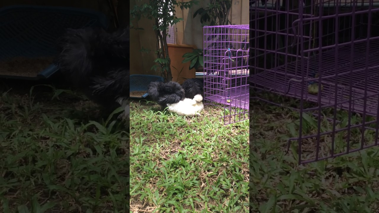 silkie chickens sunbathing in thailand youtube