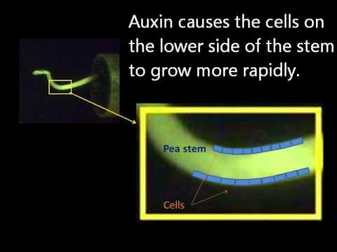 Plant stem gravitropism