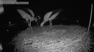 Two Proud White Storks Celebrate Their First Egg