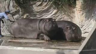 2007年10月に撮影した、上野動物園のカバのカップル「サツキ(手前)」...