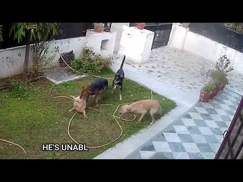 Стая собак загрызла чихуахуа в Индии.