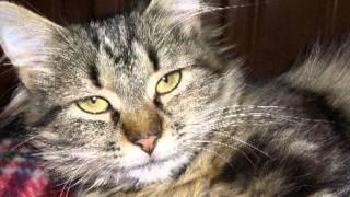 Кот Мейн-Кун 584 (2) мурчит