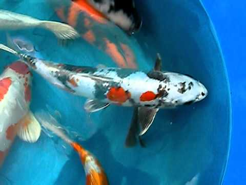 15 20 Different Varieties Of Japanese Koi For Sale Youtube