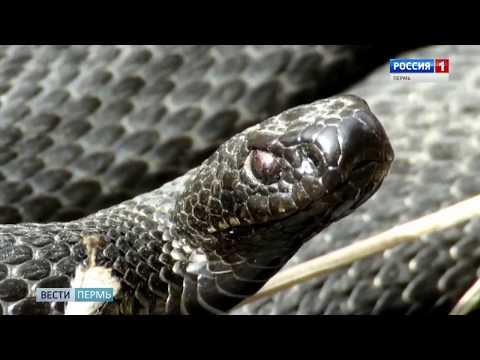 Краснокамск атакуют ядовитые змеи