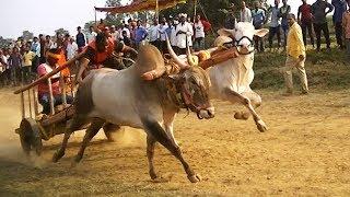 Energetic race bulls pulling bullock cart