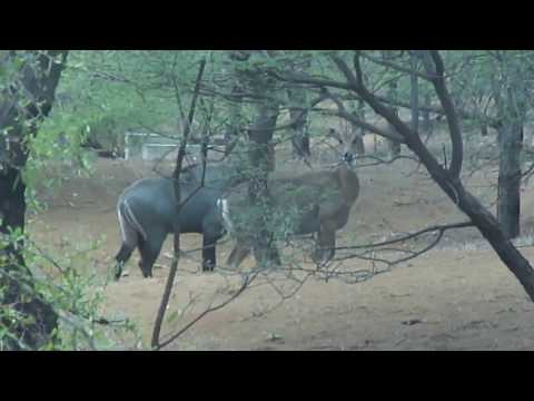 Only in Indian Continental Animal Nilgai or Blue bull Closeup video thumbnail