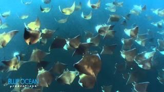 Diego swims with a thousand mobula rays off La Paz