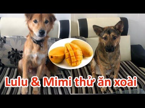 Lulu & Mimi eat mango - Cún thử ăn xoài