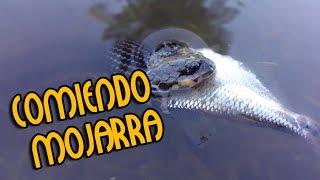 Víbora comiendo mojarra