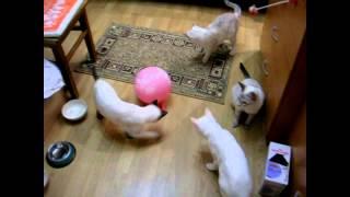 Кошки и котята прячут воздушный шарик под кровать! Тайские кошки - это чудо! Funny Cats