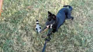 Train With Flirt Pole 101 Shepherd Dog Goes Crazy Chassing Toy Duck