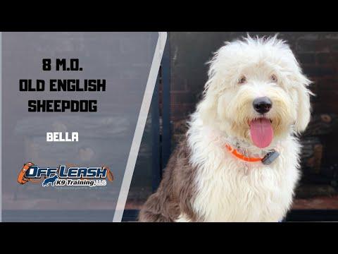 """8 M.O. OLD ENGLISH SHEEPDOG """"BELLA"""" 2 WEEK BOARD & TRAIN PROGRAM W/ MICHELLE & CHRISTY"""