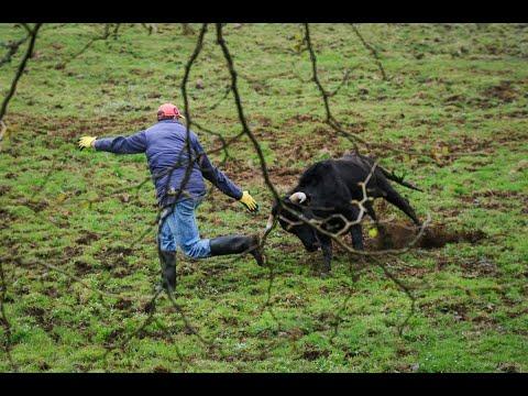 Trabalho De Campo CAJAF - Desparasitação Dos Toiros Puros Para 2019. Field Work, Deworming Of Bulls