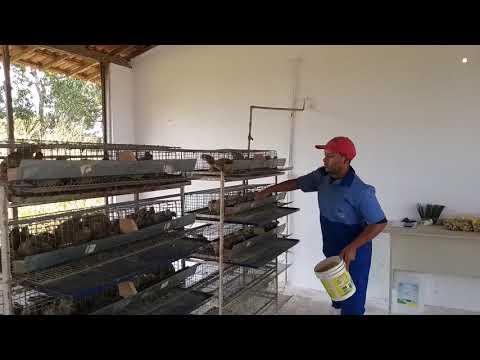 Criação de codornas Escola Agrícola de Jundiaí Macaíba RN