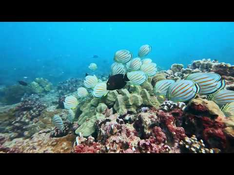 Spawning Aggregation Of Ornate Butterflyfishes, Chaetodon Ornatissimus