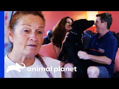 Loving Labrador Makes Perfect Companion For New Family | Pit Bulls & Parolees