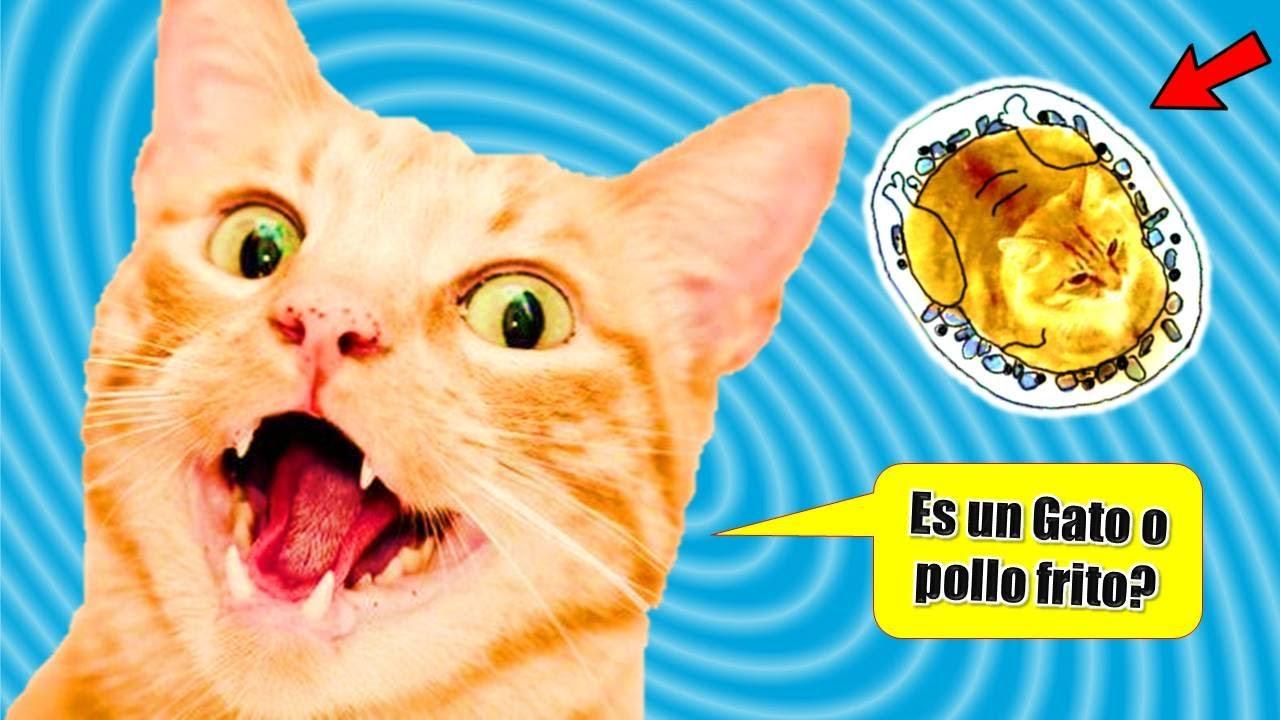 """😺 Mi Gato Rayito Reacciona a un Divertido Gato """"Anvorgueso""""!!"""