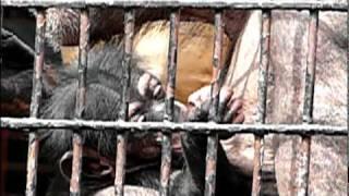 チンパンジーの赤ちゃん。 Baby Common Chimpanzee.野毛山動物園。 どう...