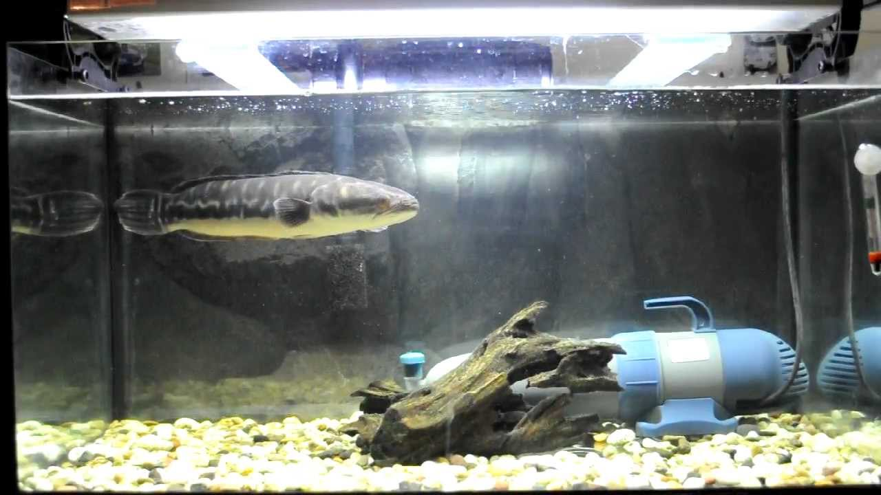 Giant Snakehead Channa Micropetles Bichir Redtail Cat Fish