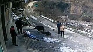 Нападение дикого кабана на людей в городе. Два  случая, два разных финала.